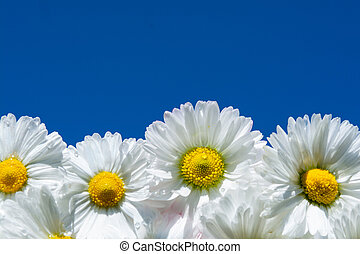 daisies on the sky background