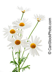 Daisy plant with flowers isolated on white background