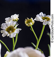 Daisies over black background
