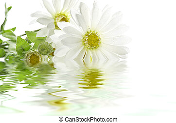 Daisies reflect on the water