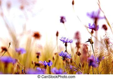 daisies', wiese