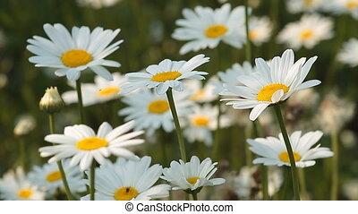 Daisy 10 - Daisy field