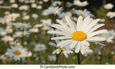 Daisy 5 - Daisy field