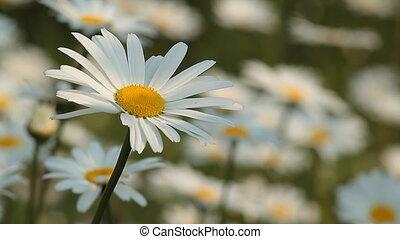 Daisy 8 - Daisy field