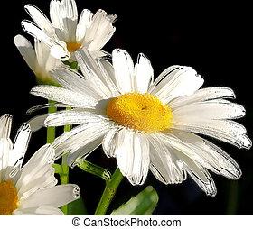 Daisy - abstract
