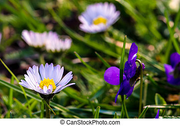 daisy and violet flower