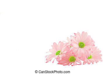 daisy background - isolated image of pink daisies with copy-...