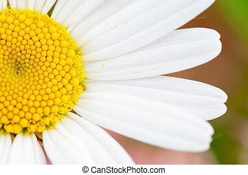 daisy blomst