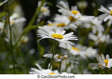 Daisy blooms - Single daisy flower head in shallow focus...