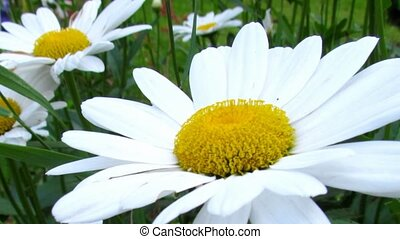 Daisy blossom close-up. Natural video with meadow flowers...