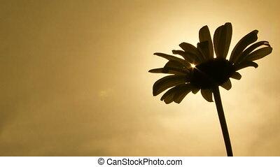 Daisy. Close-up - Daisy against sky. Sepia toned image.