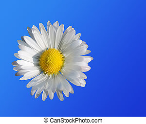 Daisy close up on a blue background