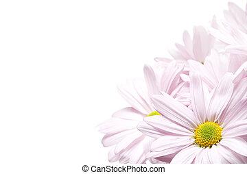 daisy corner