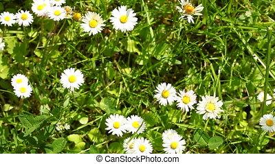 Daisy. Daisies flowers. Full HD - Daisy. Daisies flowers...