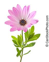 daisy - Daisy flower isolated on white
