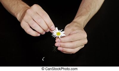 Daisy divination. Man's hands guessing playing he loves me, he loves me not by tearing off petals of small daisy flower