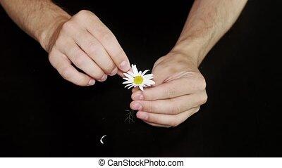 Daisy divination. Man's hands on black background - Daisy...