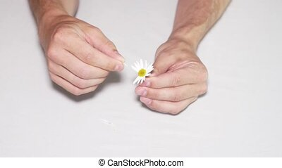 Daisy divination. Man's hands on white background - Daisy...