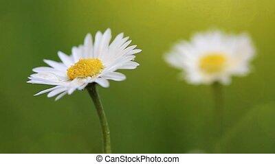 Daisy field in the sunny summer day.