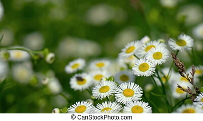 Daisy fleabane's clustered blossoms, common wildflower, waving in breeze