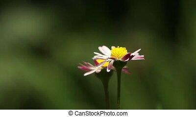 Daisy Flower 002