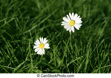 daisy flower and green grass in spring