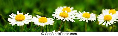 Daisy flower background.