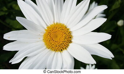 Daisy flower close up, beautiful chamomile with pollen. Gardening video with Leucanthemum vulgare in High quality FullHD.