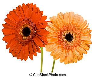 Daisy flower close up photo