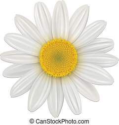 Daisy flower - Daisy, chamomile flower isolated; vector.