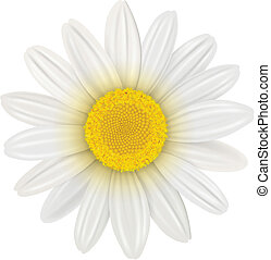Daisy, flower isolated, vector illustration.