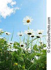 daisy flower field against blue sky