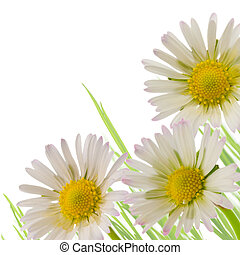 daisy flower, floral design spring season