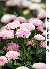 daisy flower garden spring season