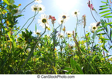 daisy flower in summer with blue sky