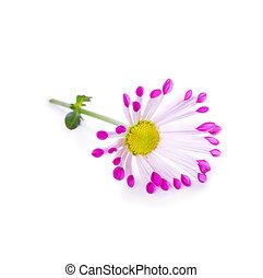 Daisy flower isolated.