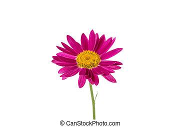 daisy flower isolated on white background