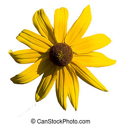 Daisy flower isolated over white background
