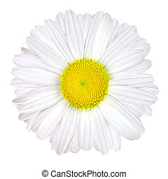Daisy Flower Isolated - White with Yellow Center