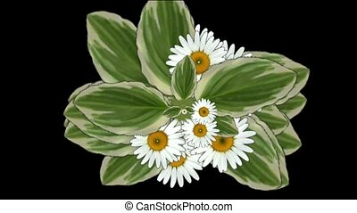 daisy flower & leaves, spring scene.