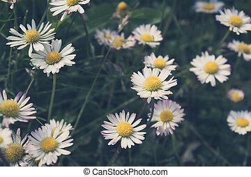 daisy flower meadow closeup - vintage style