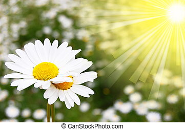 daisy flower on a summer field