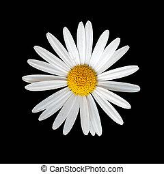 Daisy flower on black background