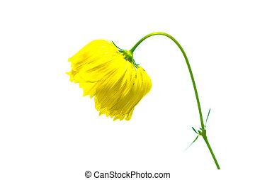 daisy flower on white background