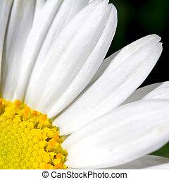 Daisy flower - Closeup of a beautiful Marguerite. Daisy...