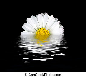 Daisy flower reflection