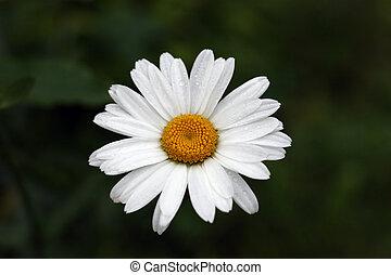 Daisy Flower Under The Rain