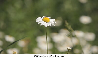 daisy flower with bee