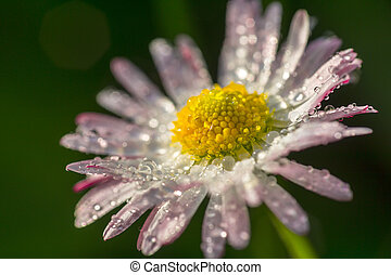 Daisy flower with drops of dew