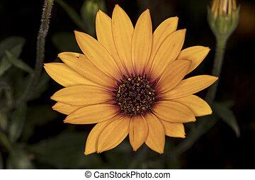 daisy flower, yellow and dark